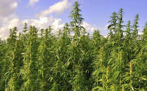 Vienna-MarijuanaPlantation
